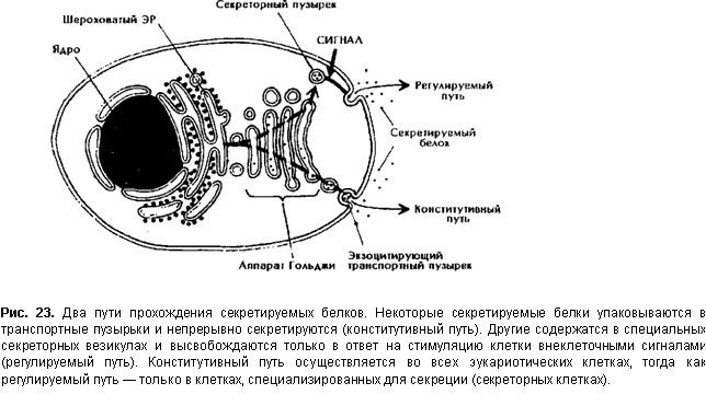 Эндоцитоз и экзоцитоз