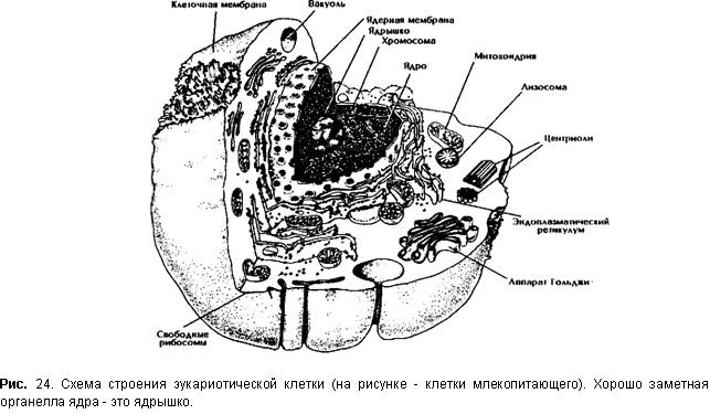 Схема строения эукариотической клетки