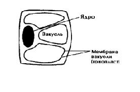 Вакуоли