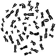 Клеточное ядро
