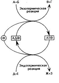 Аденозинмонофосфорная кислота
